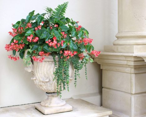 A beautiful planter of Angel Wing Begonias! Did you know you can eat begonia blossoms? They taste like sweet tarts! (Just be sure they are washed and free from any pesticides or other landscape chemicals before you toss them in your salad 😉)