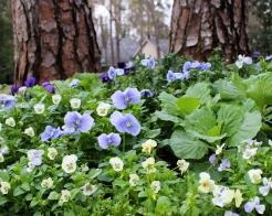 A cheerful array of Violas.