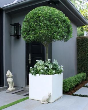 White Geraniums, Pentas and Caladiums are so elegant beneath the canopy of this tree form Ligustrum.